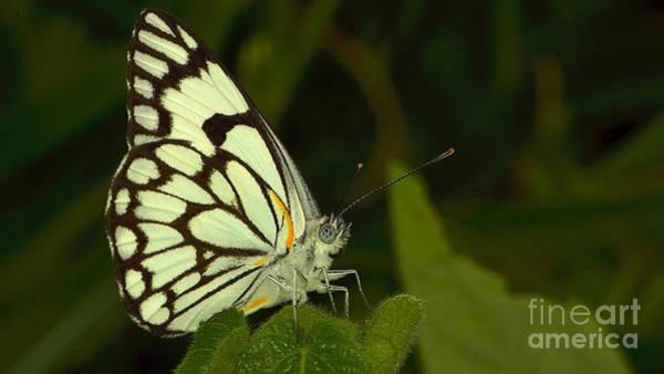Photograph - Butterfly by Mareko Marciniak