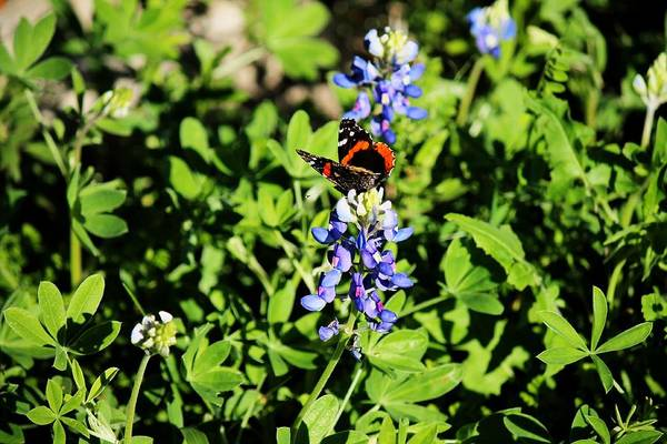Photograph - Butterfly On A Bluebonnet by Sarah Broadmeadow-Thomas