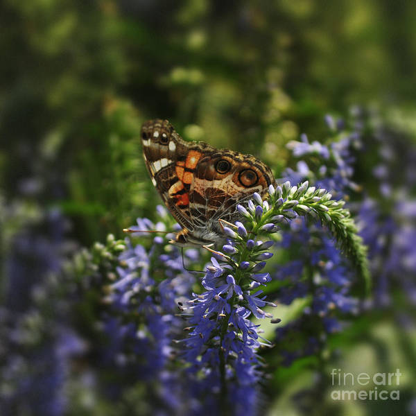 Veronica Photograph - Butterfly On Veronica by Mary Machare