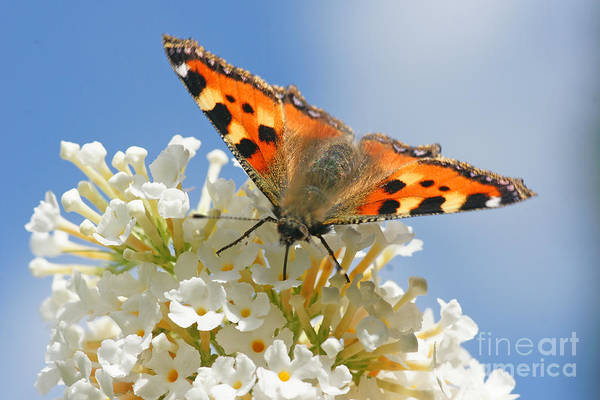 Photograph - Butterfly On White Flower by David Birchall
