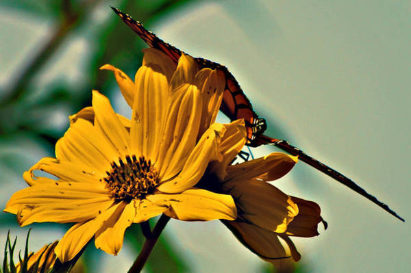 Wall Art - Photograph - Butterfly Resting On A Yellow Flower by Michelle Cruz
