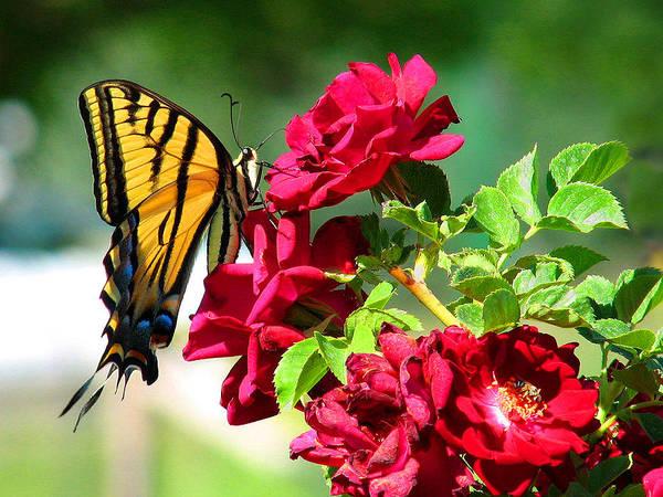 Photograph - Butterflyrose by Rick Wicker