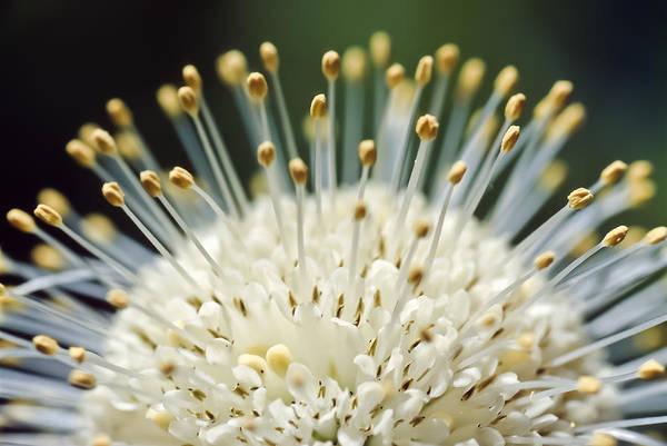 Photograph - Buttonbush by Patrick M Lynch