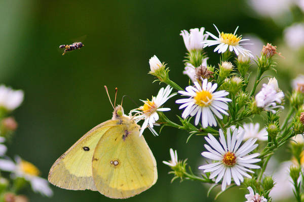 Photograph - Buzzed Butterfly by Craig Leaper