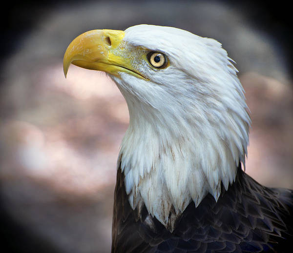 Photograph - By The Light Of The Silvery Moon - Bald Eagle by Donna Proctor