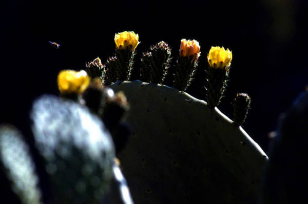 Photograph - Cactus Buds And Insect by Emanuel Tanjala