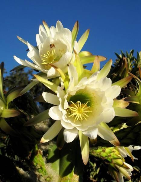 Cactus Flower Photograph - Cactus Flowers by Sue Halstenberg