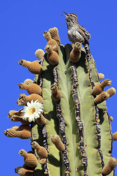Cactus Wren Wall Art - Photograph - Cactus Wren Campylorhynchus by Cyril Ruoso
