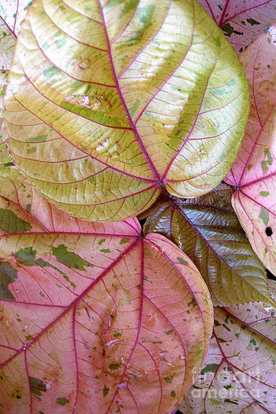 Wall Art - Photograph - Caladium Leaves by Mike Nellums
