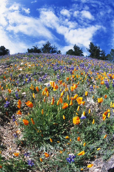 Figueroa Mountain Photograph - California Poppies And Lupins On A Hill by James Forte