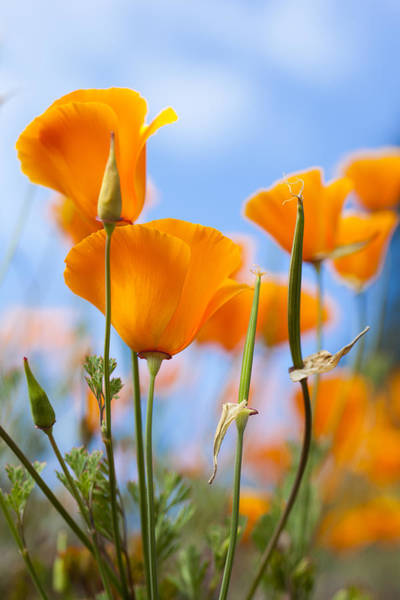Wall Art - Photograph - California Poppies In The Gardens by Taylor S. Kennedy