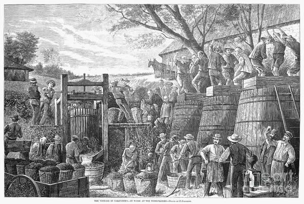 Wall Art - Photograph - California: Wine Harvest by Granger