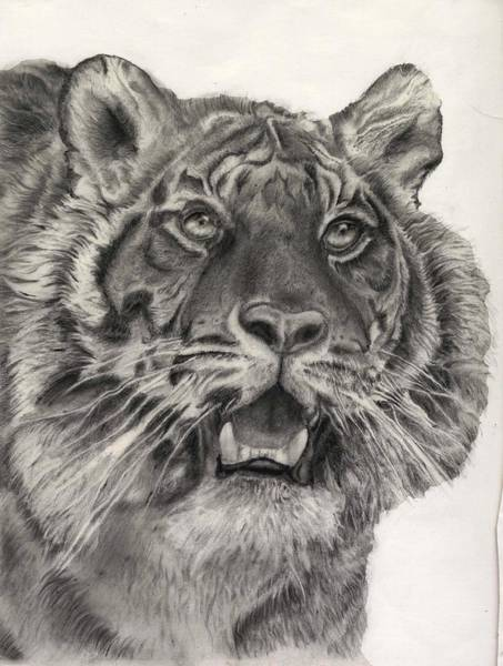 Bengal Tiger Drawing - Call Of The Wild by David Butcher