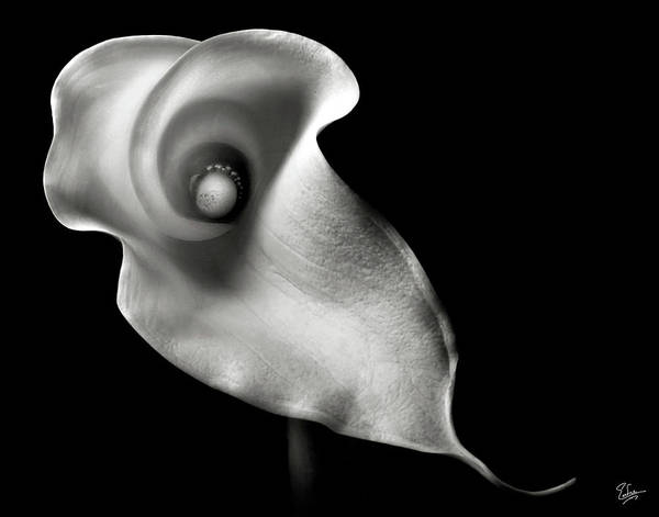 Photograph - Calla Lily In Black And White by Endre Balogh