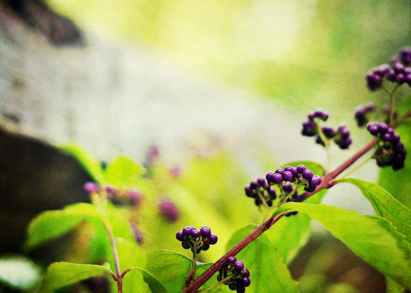 Chartreuse Photograph - Callicarpa Japonica Japanese Beautyberry by Rebecca Sherman