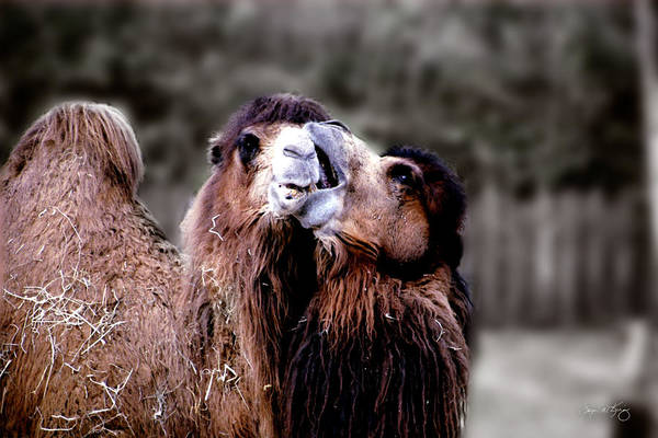 Photograph - Camel Kiss by Wayne King