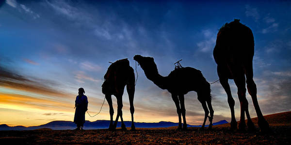 Photograph - Camels  by Okan YILMAZ