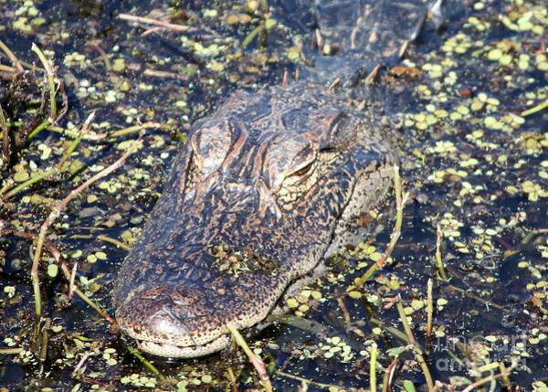 Photograph - Camouflaged Gator by Carol Groenen