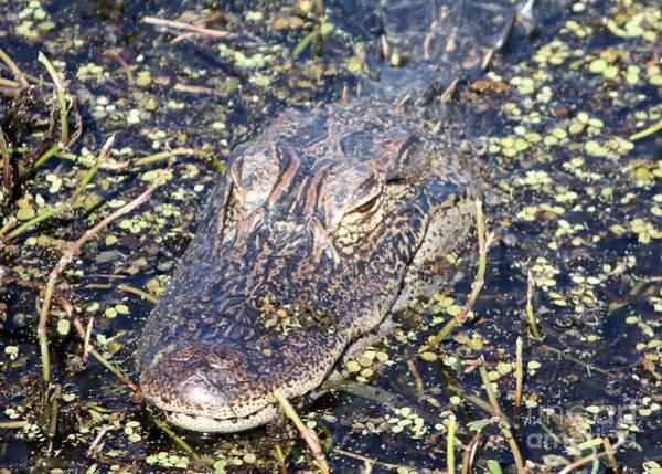 Lurking Photograph - Camouflaged Gator by Carol Groenen