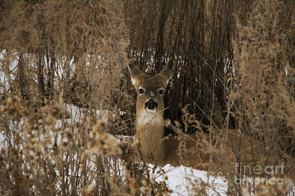 Lethbridge Photograph - Camouflaged Whitetail by Alyce Taylor