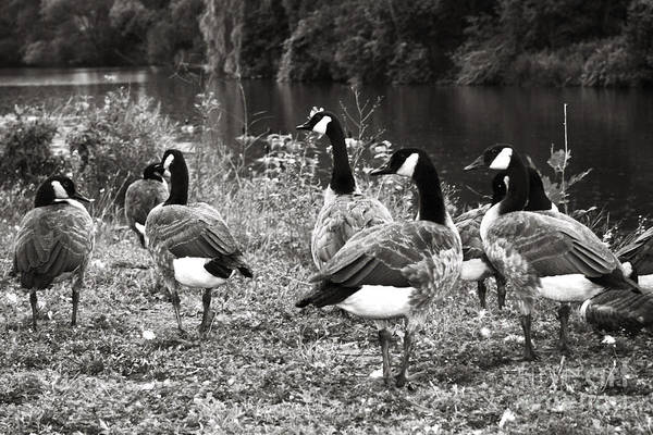 Wall Art - Photograph - Canada Geese by Blink Images