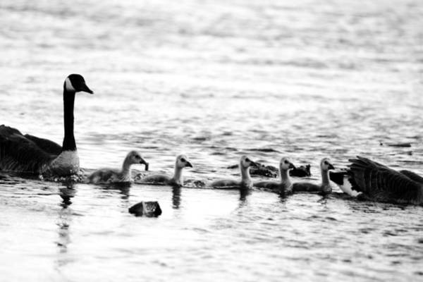 Wall Art - Photograph - Canada Geese Family II Bw by Paul Ge