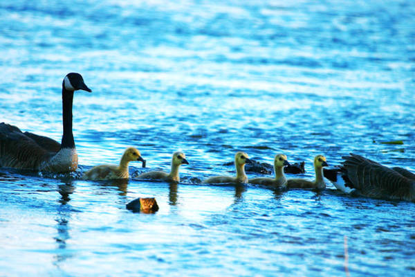 Wall Art - Photograph - Canada Geese Family II by Paul Ge