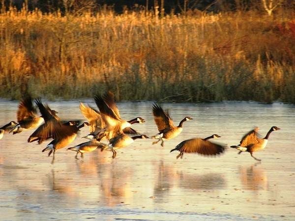 Photograph - Canada Geese by Peggy  McDonald