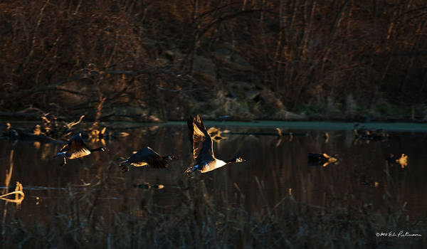 Photograph - Canada Geese Take Flight by Edward Peterson