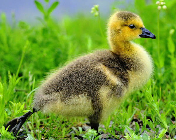 Photograph - Canada Gosling by Tony Beck
