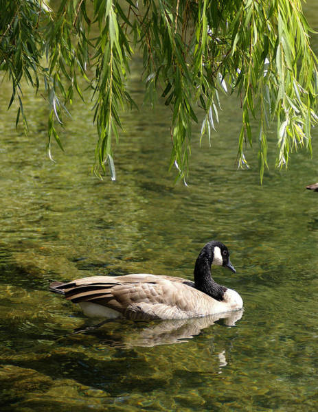 Photograph - Canadian Goose Under Willow On Spokane River by Ben Upham III