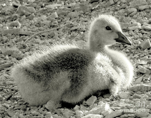 Gosling Photograph - Canadian Gosling by Janeen Wassink Searles