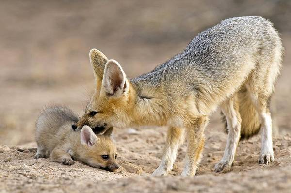Chama Photograph - Cape Fox Mother And Young by Tony Camacho