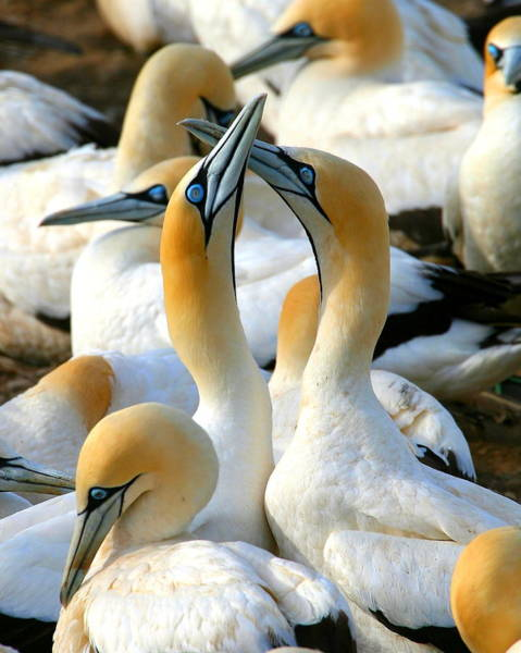 Courtship Photograph - Cape Gannet Courtship by Bruce J Robinson