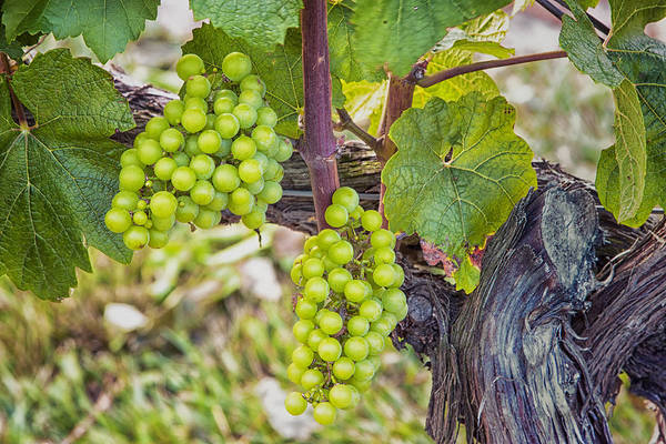 Photograph - Cape May Grapes by Tom Singleton