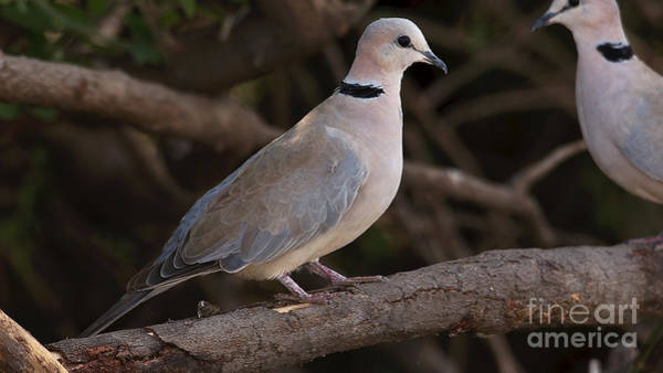 Photograph - Cape Turtle Dove by Mareko Marciniak