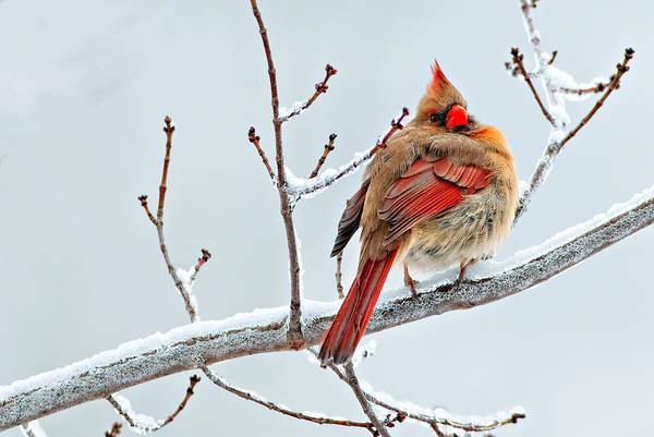 Cardinal I The Snow  Art Print