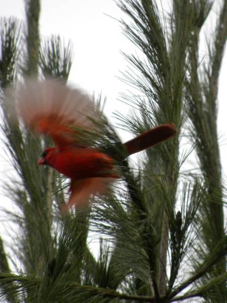 Photograph - Cardinal In Flight by Peggy  McDonald