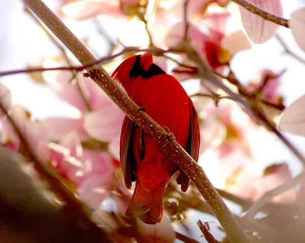 Photograph - Cardinal On Magnolia Tree by Emanuel Tanjala
