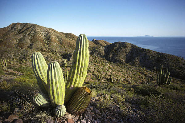Photograph - Cardon Pachycereus Pringlei Cactus by Tui De Roy