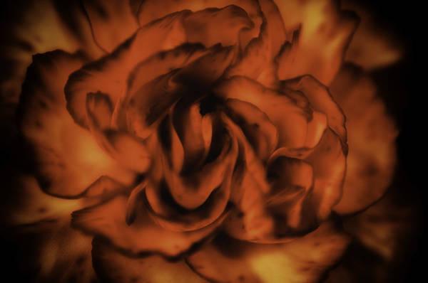 Wall Art - Photograph - Carnation by Charles Garrett