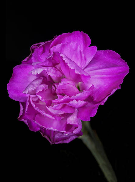 Carnation Photograph - Carnation by Nigel Jones