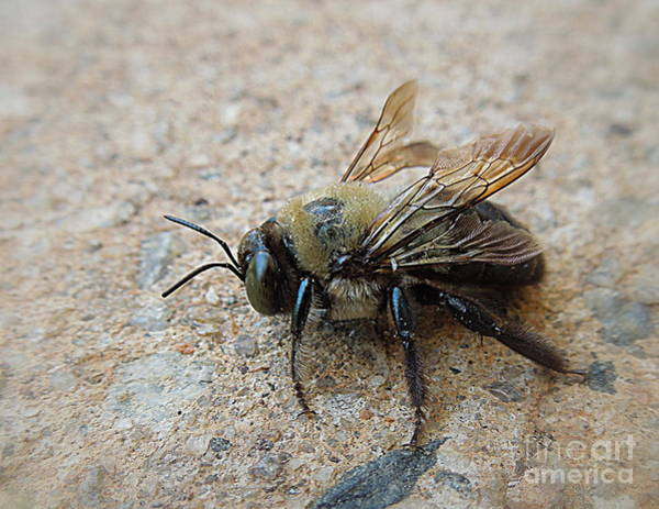 Bore Hole Wall Art - Photograph - Carpenter Bee by Renee Trenholm