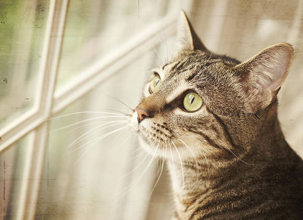 Look Away Photograph - Cat Looking At Window by Jody Trappe Photography