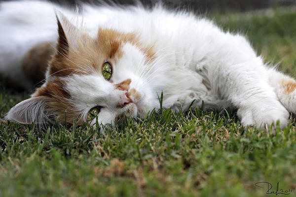 Photograph - Cat On The Grass by Raffaella Lunelli