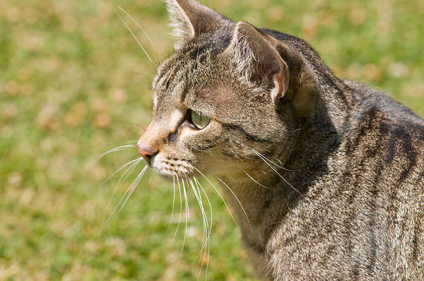Photograph - Cat Portrait On A Green Lawn by U Schade
