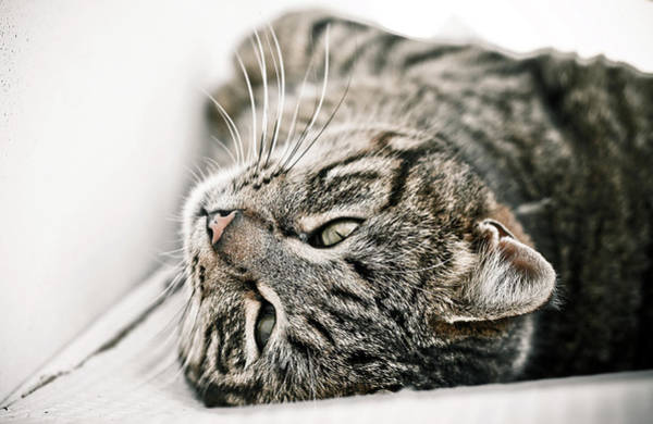 Upside Down Photograph - Cat Relaxing Upside Down by Annfrau