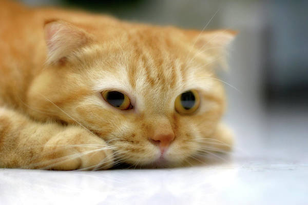 Resting Photograph - Cat Resting On His Chin by LeoCH Studio
