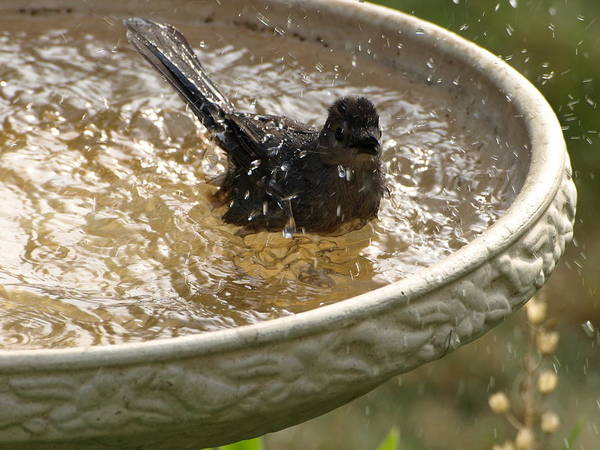Photograph - Catbird Bath - 2 by Jeffrey Peterson