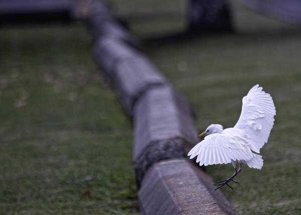 Photograph - Cattle Egret Landing by Dan McManus